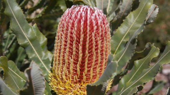 Banksia at Bold Park, one of the areas of remnant woodland.  Photo: Rob Davis